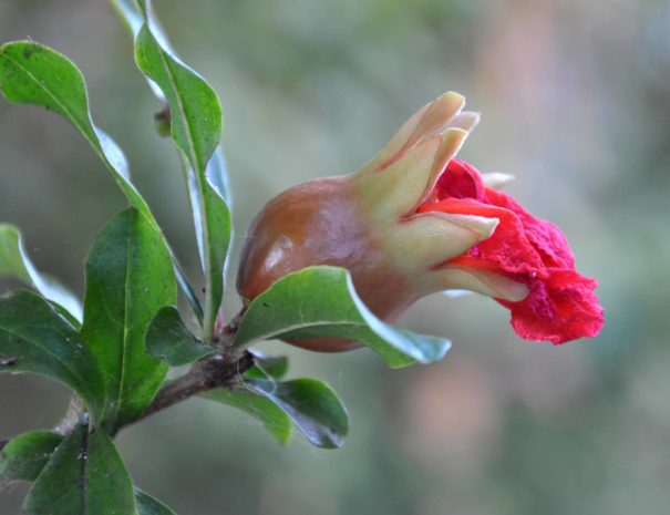 varie_fiore melograno