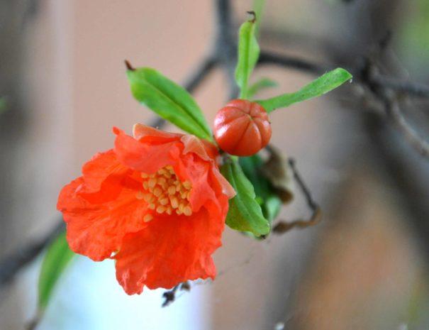 varie_fiore melograno_3